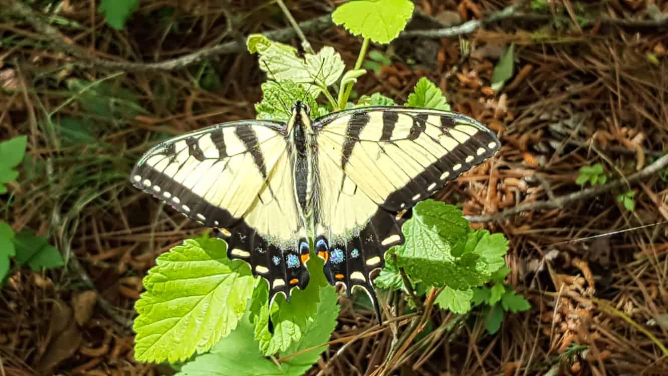 Beautiful Yellow Butterfly CHP