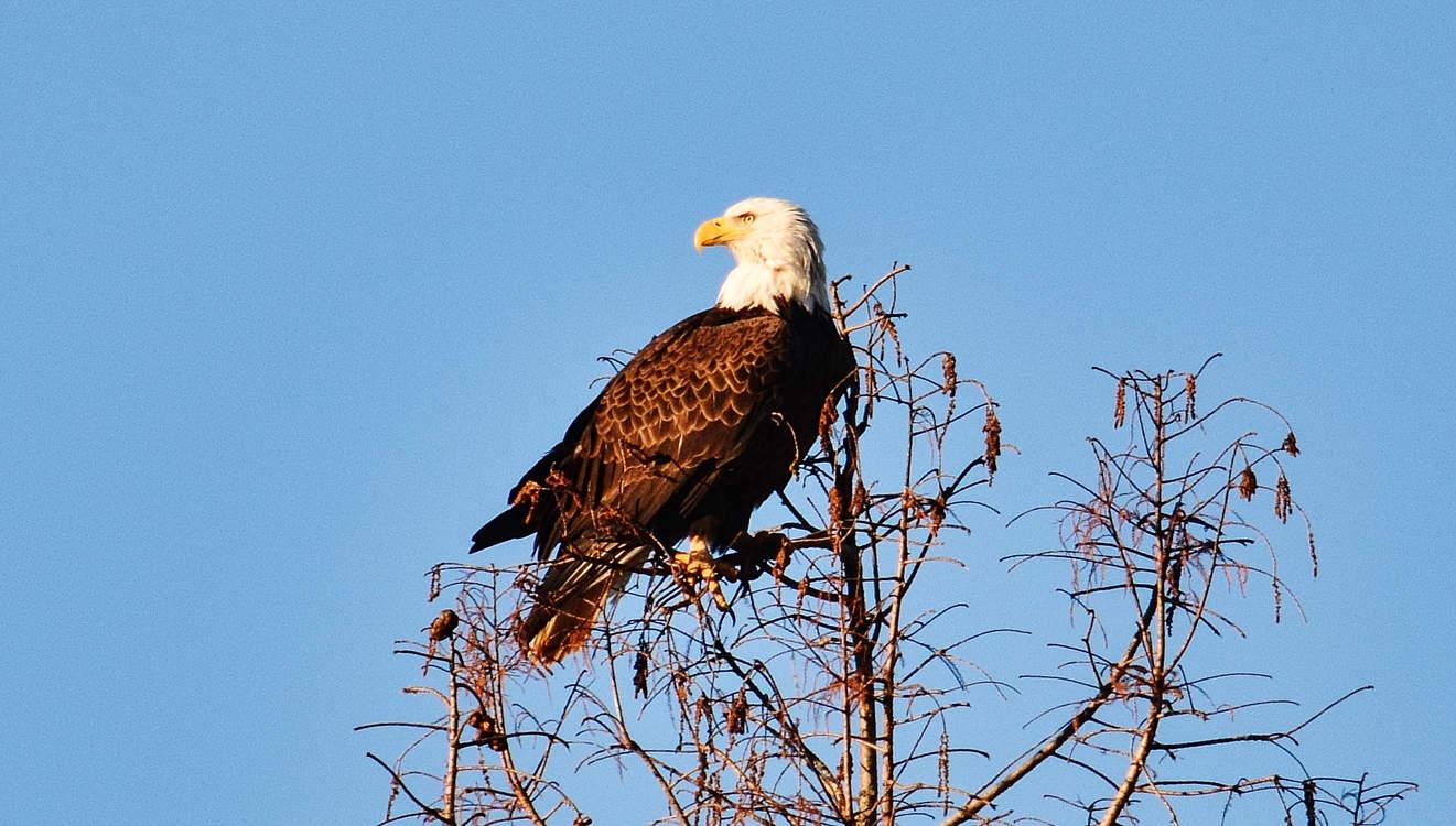 The CHP Local Bald Eagle
