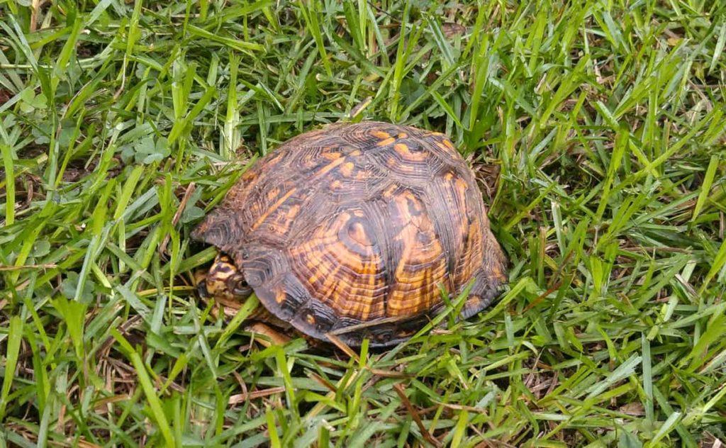Chestnut Hill Turtle