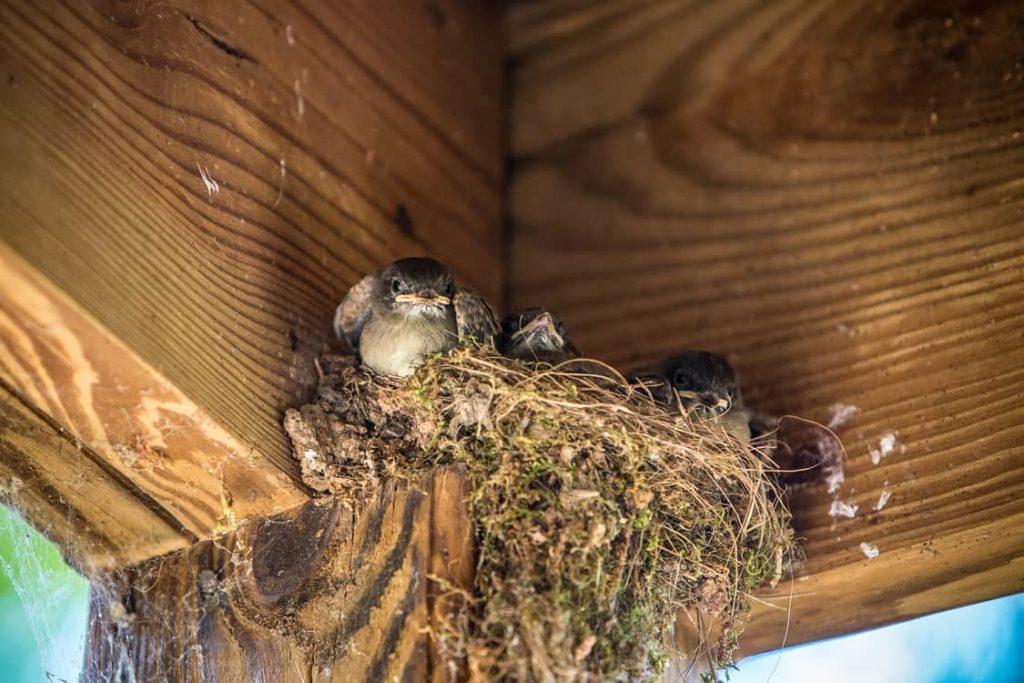 birds in nest