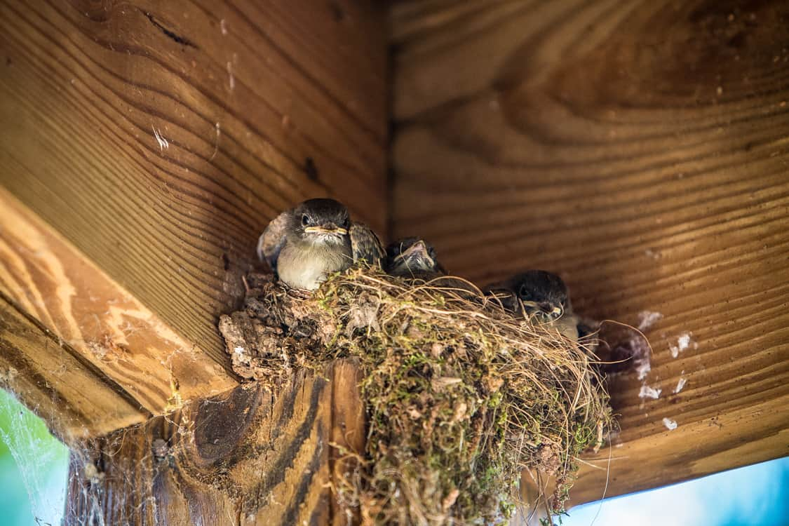 birds in nest