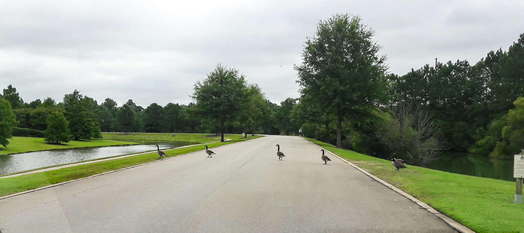 Geese Walk The Streets