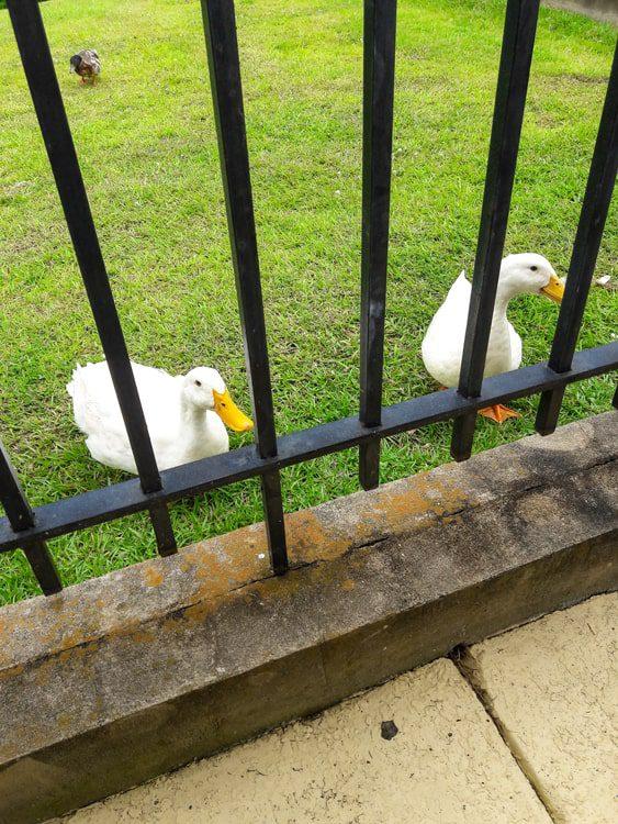 local ducky friends