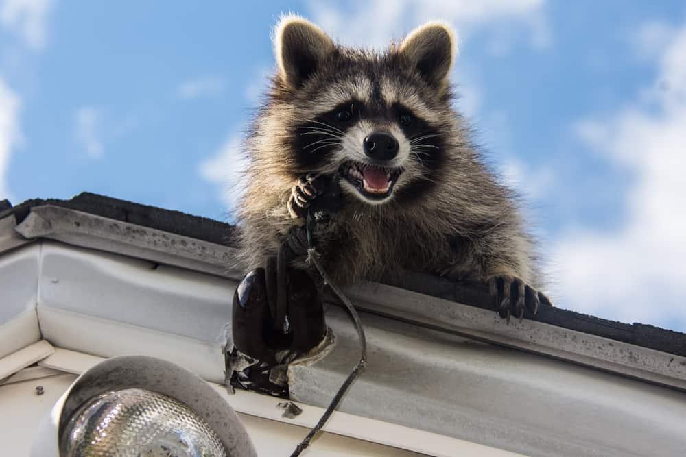 raccoon in neighborhood